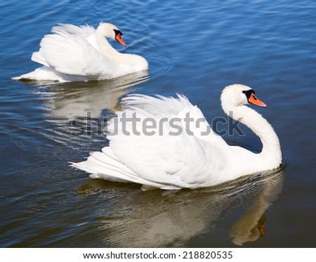 Two swans are swimming on the lake - stock photo