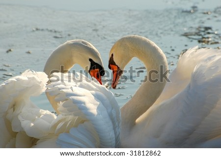 Two swans close together - stock photo