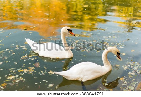 Two swans floating in a pond autumn - stock photo