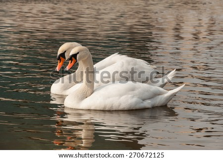 two swans floating on the water - stock photo