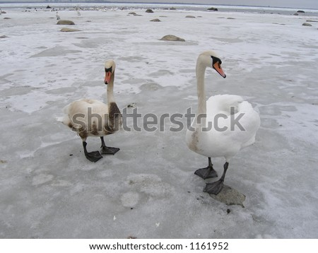 Two swans-healthy and unhealthy covered with oil - stock photo