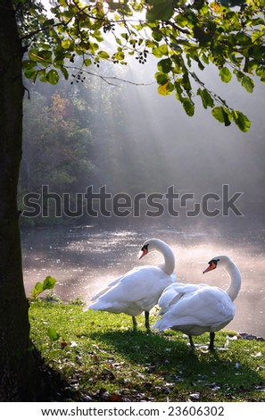 Two swans in beautiful landscape lake and sunbeam - stock photo