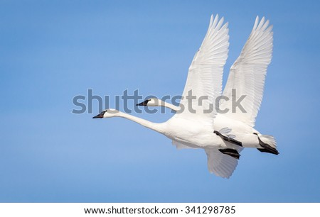 Two Swans in flight - stock photo