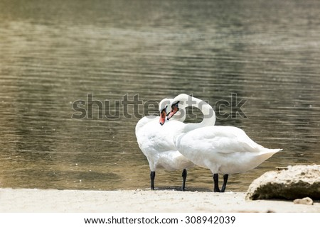 Two swans in love on Coast - stock photo