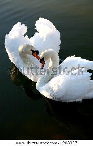 Two swans on lake - stock photo