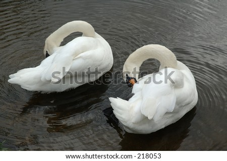 Two swans preening - stock photo