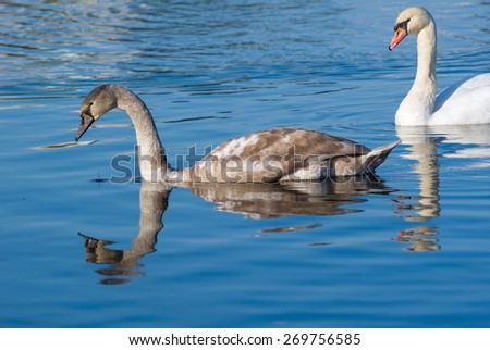 Two swans swim in calm water on a bright sunny day. - stock photo