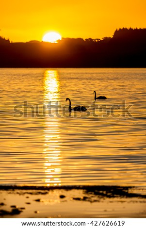 two swans swimming on a lake in silhouette with a golden sunset