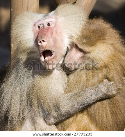 Two sweet baboons holding each other - stock photo