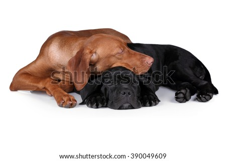 Two sweet puppy sleeping on a white background, black and red - stock photo