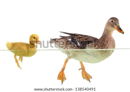 two swimming nestling of duck on white background - stock photo