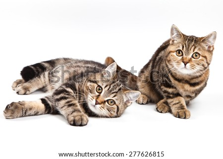 two tabby cats on the side and looking at the camera (isolated on white) - stock photo