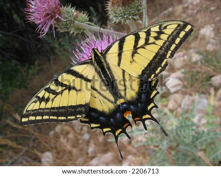two-tailed swallowtail butterfly (Papilio multicaudata) on thistle - stock photo