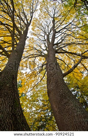 Two tall maple trees - stock photo