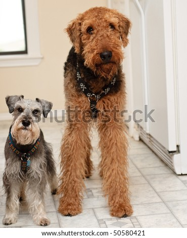 Two terrier dogs big and small with funny expressions standing in the kitchen