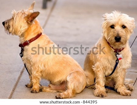 two terrier type dogs on sidewalk one profile male and one portrait female - stock photo