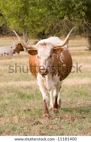 Two Texas longhorns relaxing in a pasture. - stock photo