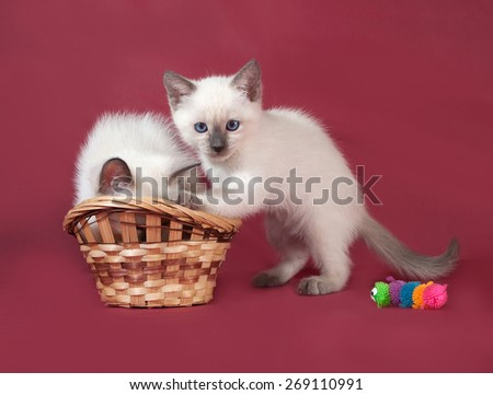 Two Thai white kitten sitting on red background