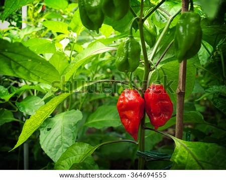 Two the hottest chili peppers know as Bhut Jolokia still on plant - stock photo