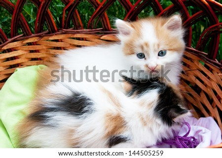 Two three-colored kittens sitting in the basket