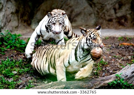 Two Tigers. - stock photo