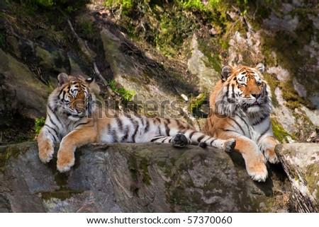 two tigers - stock photo