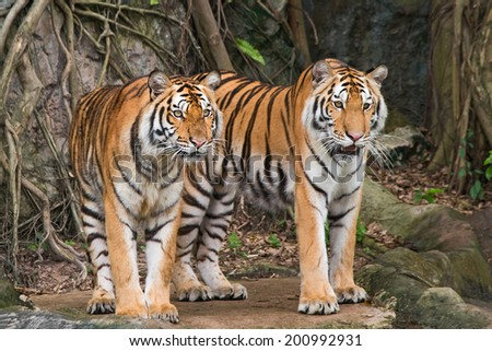 Two tigers are staring victim. - stock photo