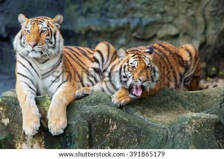 two tigers roar sleeping on rocks. - stock photo