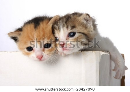 Two tiny cute kittens in a cardboard box - stock photo