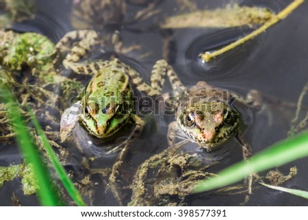 Two tiny frogs looking upon me from the river Sok's surface. - stock photo