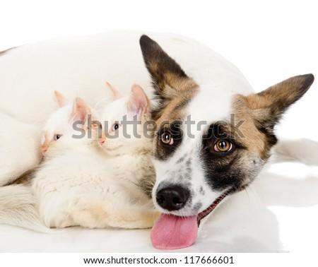 two tiny kittens sleep near a big dog. isolated on white background - stock photo