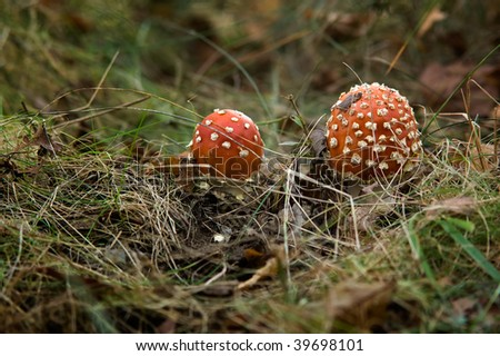 Two toadstools in the forest