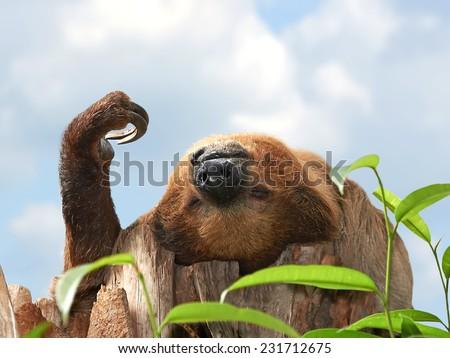 Two-toed Sloth (choloepus didactylus) - stock photo