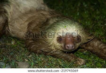 Two-toed sloth in Cahuita,Costa Rica - stock photo