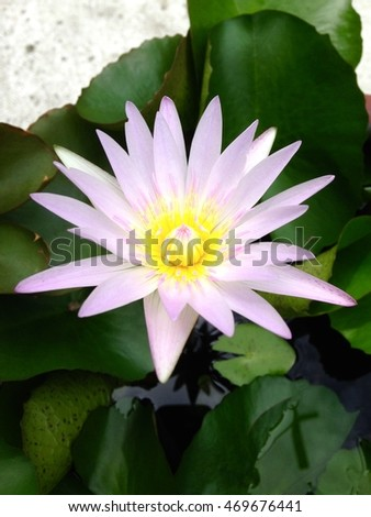 Two tone color have pink and white of lotus, it bloom in pot
