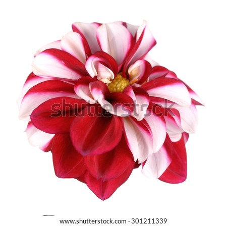 two tone white and red dahlia flower isolated on white background - stock photo