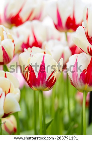 Two tone White Red Tulip Blooming Flower - stock photo