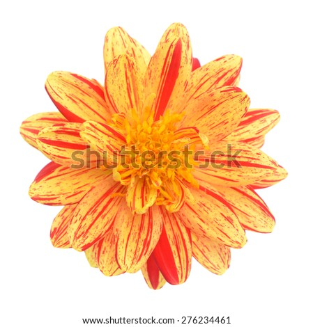 two tone yellow and red dahlia flower isolated on white background - stock photo