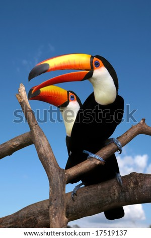 Two toucans sitting on naked branches of tree with blue sky background
