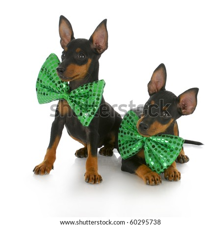 two toy manchester terrier puppies wearing matching green bow ties with reflection on white background - stock photo