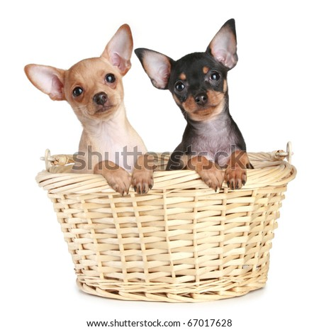 Two toy terrier puppy in wattled basket on a white background - stock photo