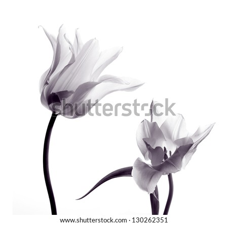 two transparent tulips in back light on white background - stock photo