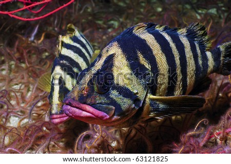Two tree fish nuzzeling on a bed of brittle stars - stock photo