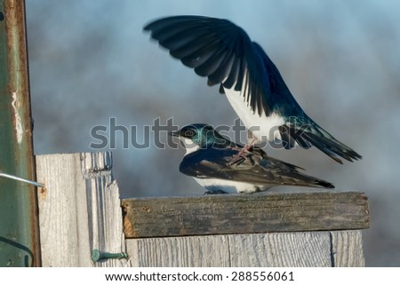 Two Tree Swallows mating on top of a bird house. - stock photo