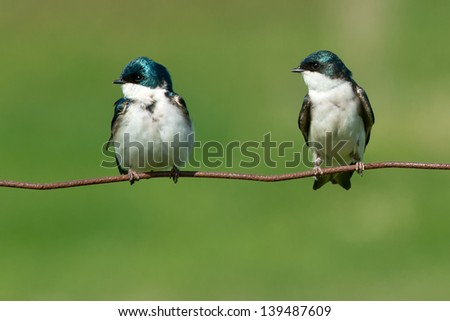 Two Tree Swallows perched on a page wire fence. - stock photo