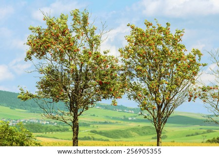 Two Trees Of Mountain Ash Against A Background Of Slovakian Landscape - stock photo