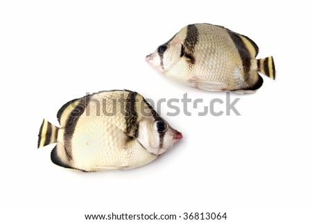 Two tropical fishes on white background - stock photo
