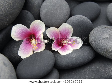 Two tropical hibiscus flower flowers on pebbles