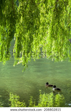 Two Tufted ducks together in park with large willow tree with leaves and branches hanging down - stock photo