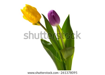 Two tulips pink and yellow isolated on white background
